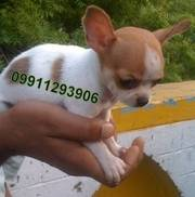 CHIHUAHUA Puppies  For Sale  ® 9911293906